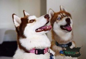Tất tần tật về chó Husky, biểu tượng của chủng tộc đại ngáo