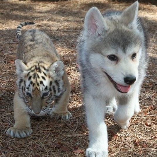 ảnh chó husky con dễ thương