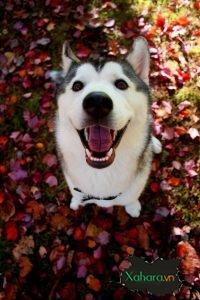 Bộ sưu tập hình ảnh chó Husky đẹp, ngáo, dễ thương
