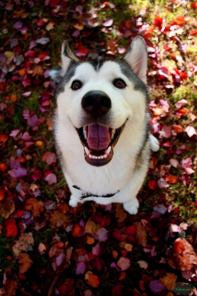 ảnh chó husky ngáo đẹp