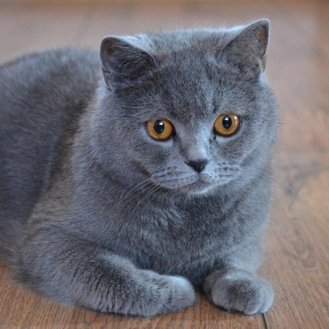 Các loại mèo lông ngắn