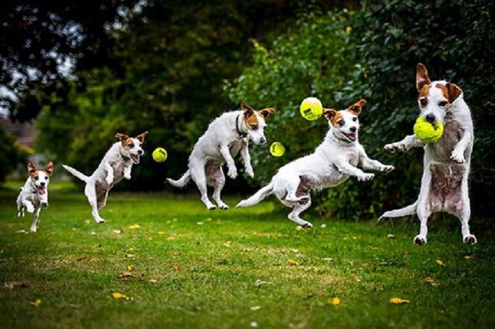 Với sự thông minh, chó rất nhanh học và làm theo những gì bạn dạy