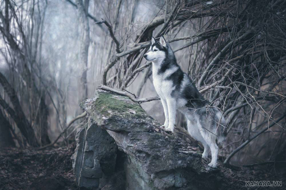 Husky background