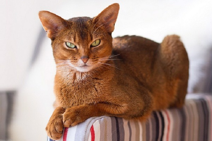 Meo Abyssinian