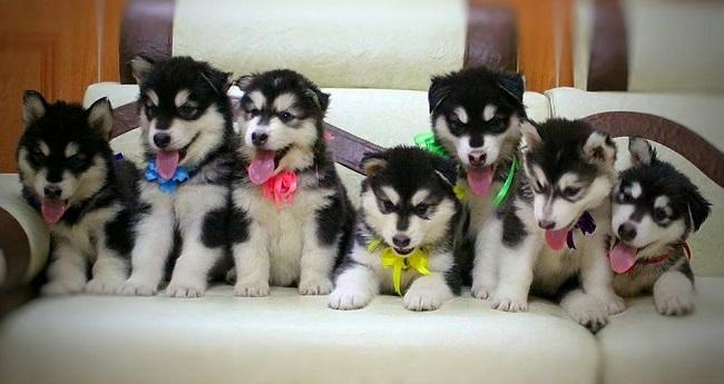 Hình ảnh chó Alaska đẹp