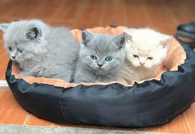 cách chăm sóc mèo Anh lông ngắn