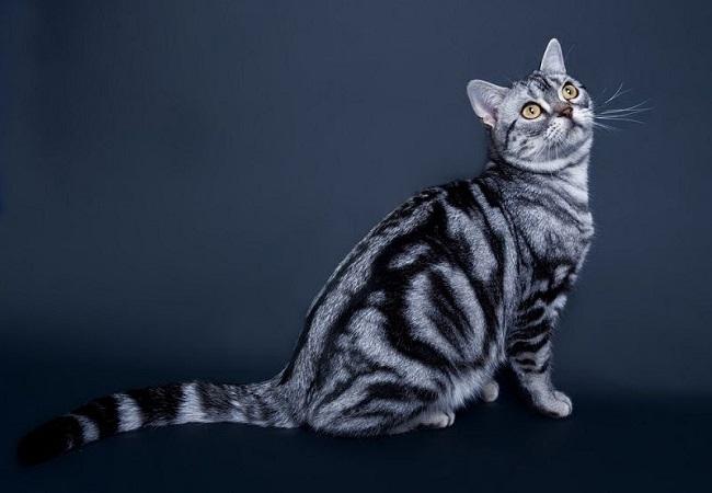 cách chăm sóc mèo Mỹ lông ngắn