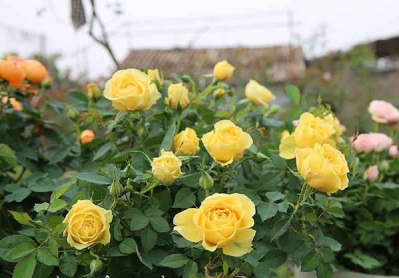 cây hoa hồng vàng cho người mệnh kim
