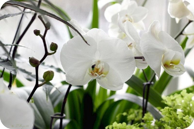 cây phong lan trắng cho người mệnh kim