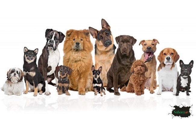 Bảng giá và kinh nghiệm mua bán các giống chó cảnh đẹp hiện nay