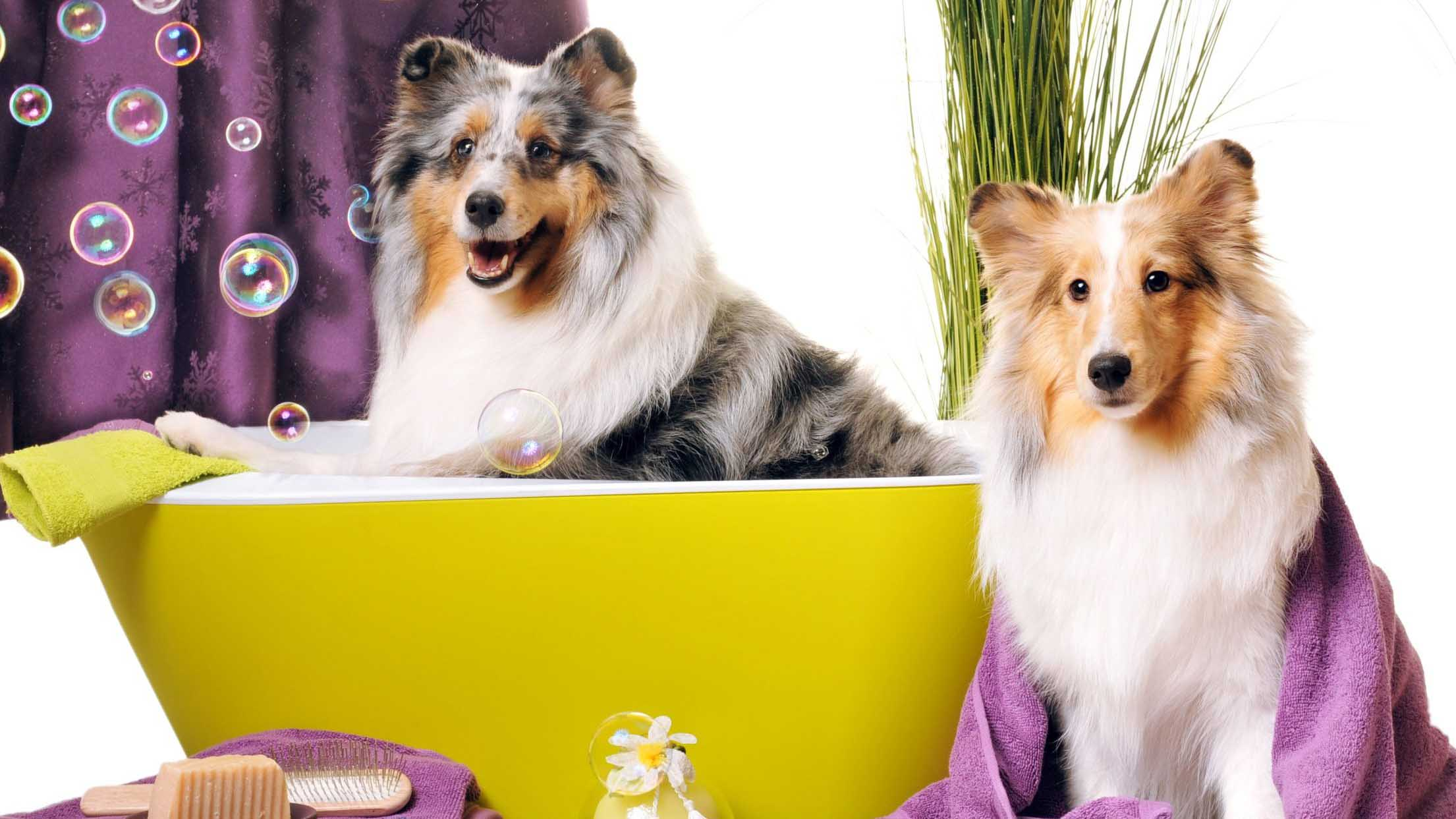 tắm cho chó trong bồn