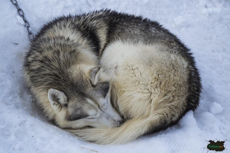 chó husky khi ngủ