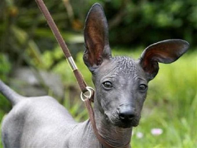 Tìm hiểu về chó Peru, giống chó cảnh không lông đến từ Nam Mỹ