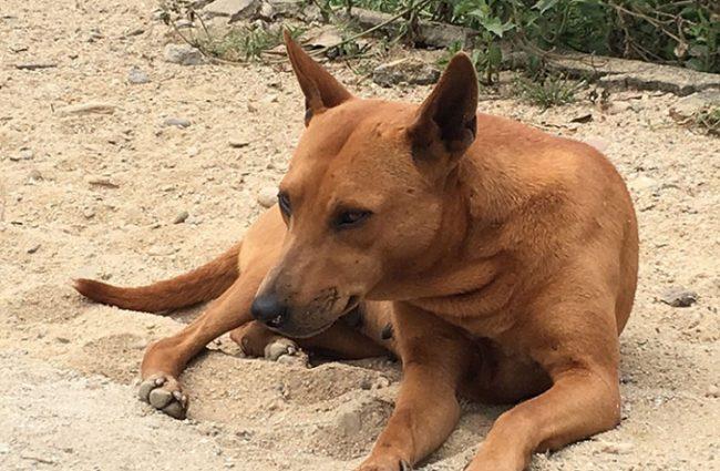 Những điều cần biết khi mua bán, chăm sóc giống chó Phú Quốc