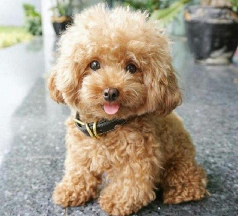 Thông tin về chó Poodle và cách nuôi, huấn luyện cơ bản