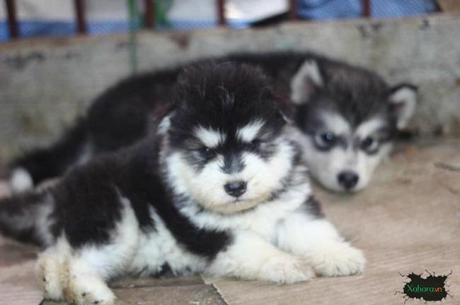 Giống chó Alaska Standard