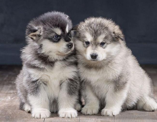 Ảnh chó Alaska đẹp, cute, cool ngầu, hài hước