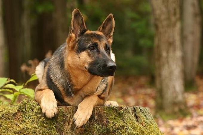 Tìm hiểu về chó Becgie, giống chó chăn cừu Đức