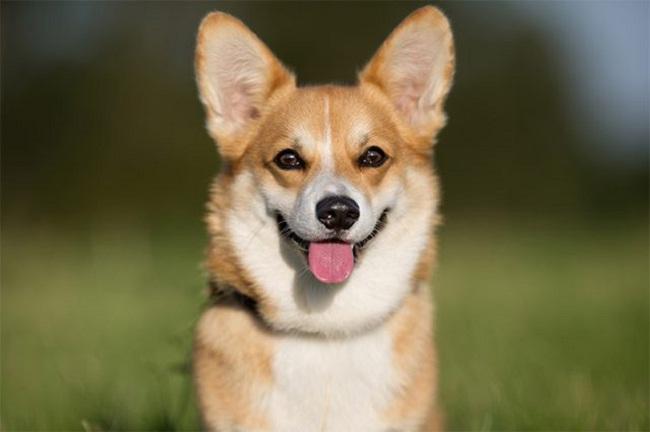 3 bệnh phổ biến ở chó Corgi mà bạn không thể xem thường