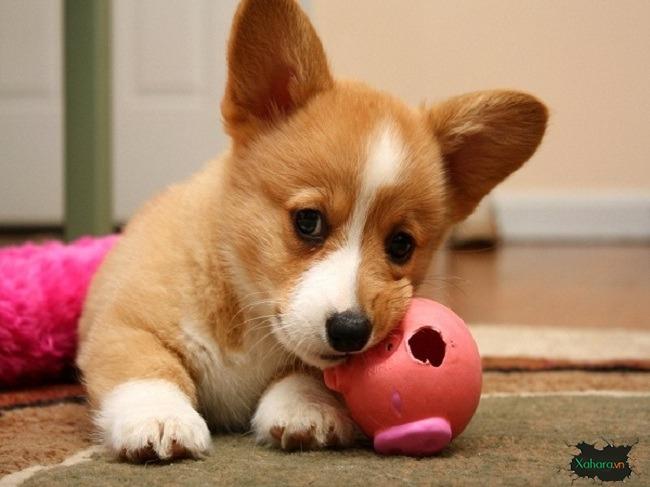 Chó Corgi – Hướng dẫn chọn mua và chăm sóc step by step