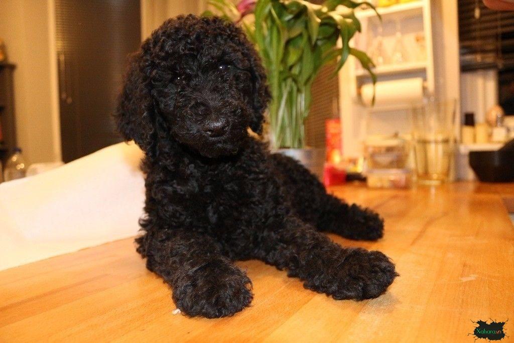 Ảnh chó Poodle màu đen