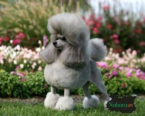 Bộ sưu tập ảnh chó Poodle đẹp, dễ thương