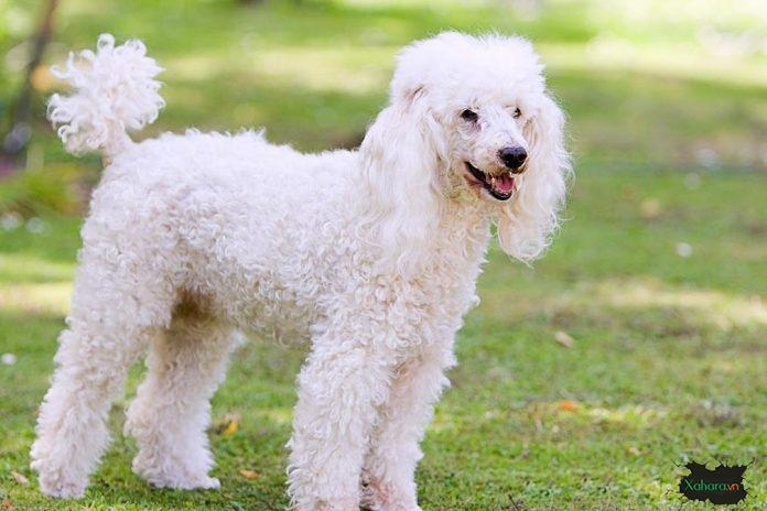 chó Standard Poodle