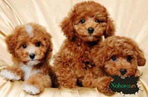 Giống chó Poodle – Kinh nghiệm mua bán và chăm sóc