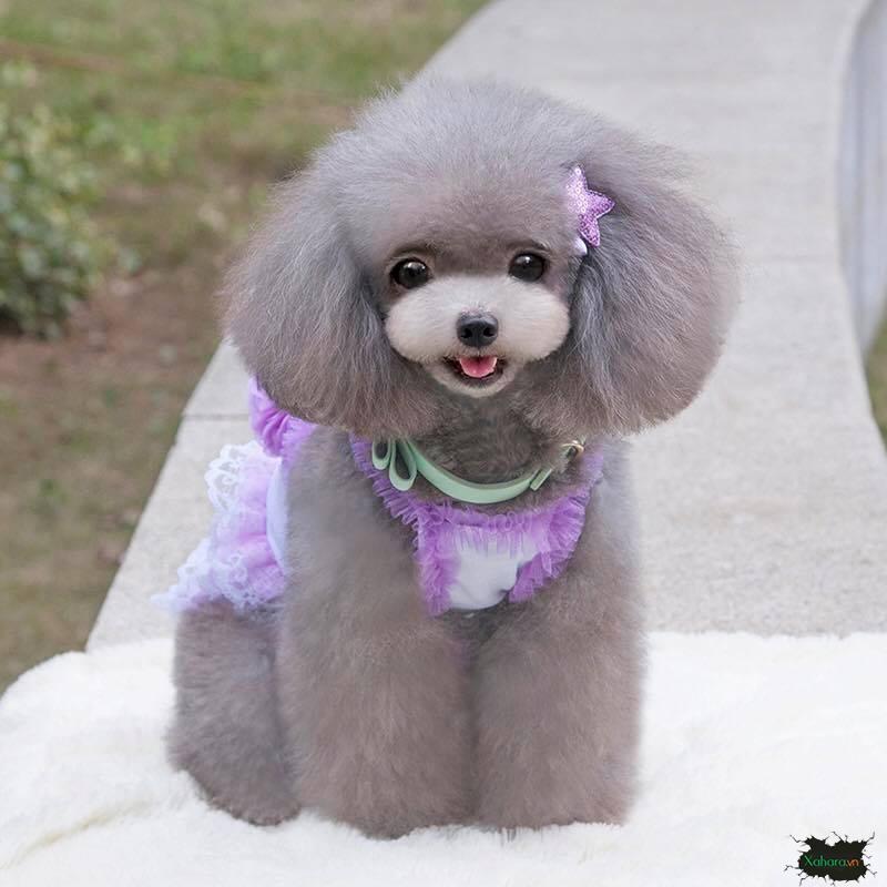 chó poodle điệu đà