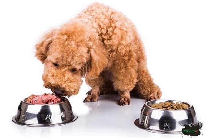 Cho poodle an gi?