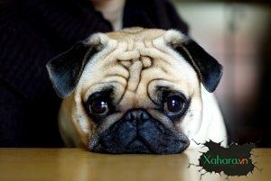 Muốn mua chó Pug về nuôi hãy đọc bài này trước đã