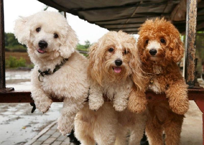 Bảng giá các loại chó cảnh phổ biến tại Việt Nam