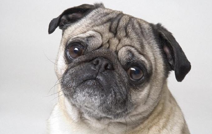gia cho Pug