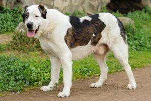 Đặc điểm của giống chó Alabai và lưu ý khi chăm sóc, mua bán