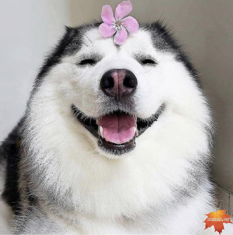 hình ảnh chó husky mặt dễ thương