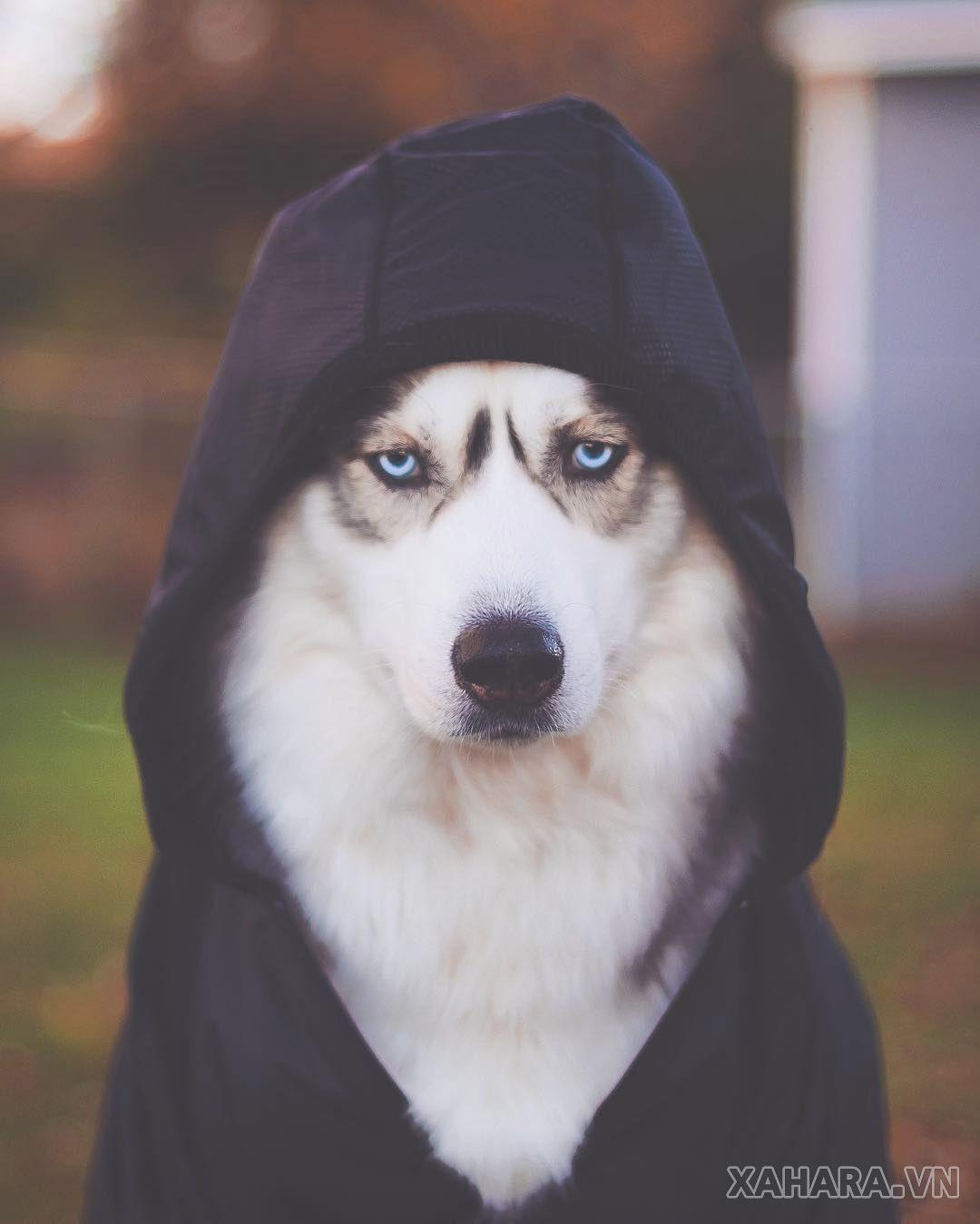 hình ảnh chó husky ngầu