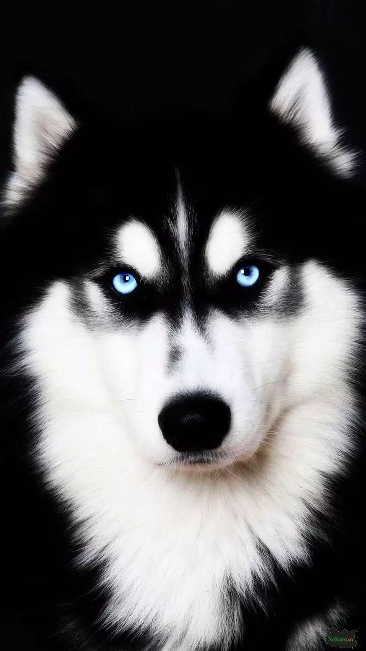 hình nền điện thoại chó husky đẹp