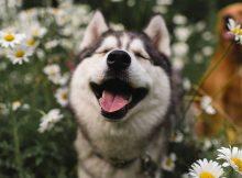 hình ảnh đáng yêu cute hết sức của Husky
