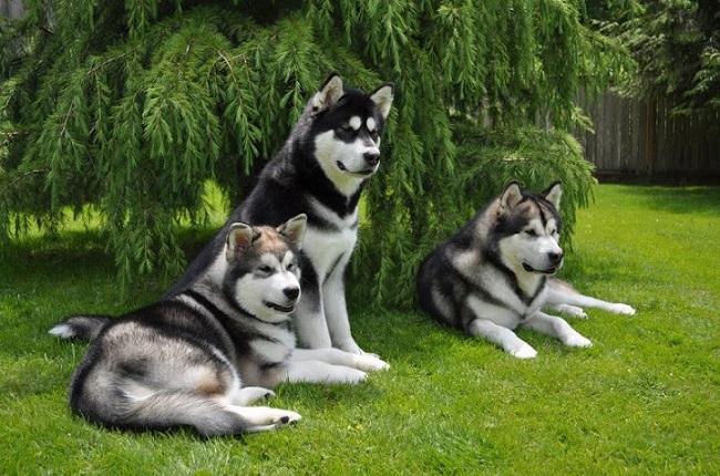 hình ảnh chó alaska khi lớn