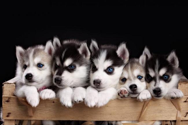 Chó Husky là giống chó đến từ xứ lạnh