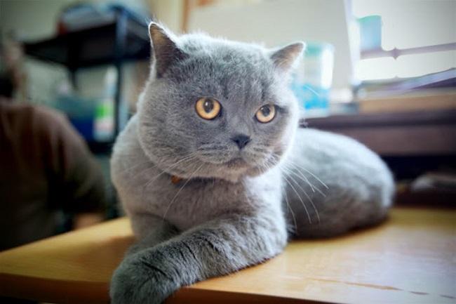 mèo Anh lông ngắn và cách phân biệt