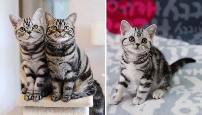 mèo Mỹ lông ngắn và cách nhận biết