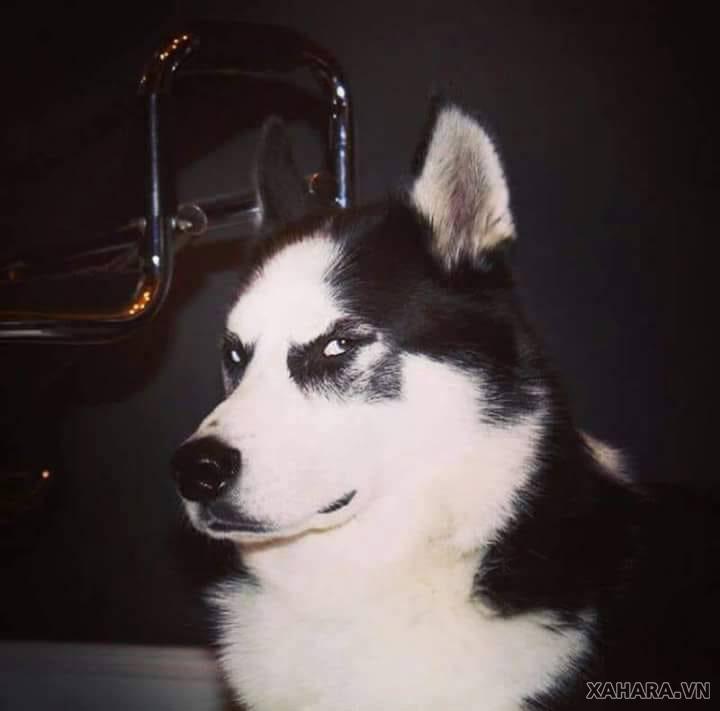 mặt ngáo của chó husky
