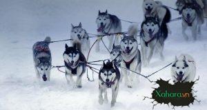 Tìm hiểu về chó Alaska, giống chó cảnh được yêu thích nhất Việt Nam