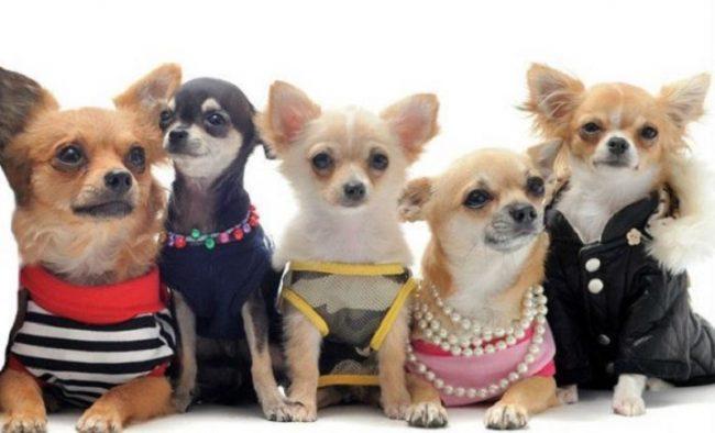 Điểm danh các giống chó cảnh nhỏ phù hợp nuôi trong nhà