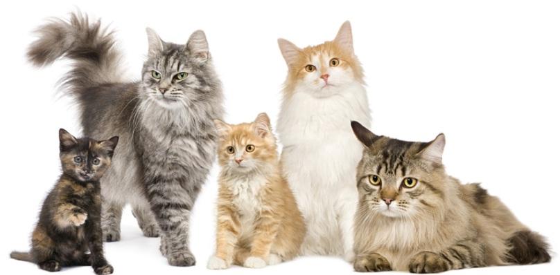 Điểm danh các giống mèo đẹp, thông minh, có thể nuôi trong nhà