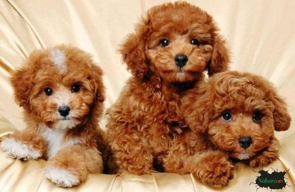 Chó Poodle là loại chó nhỏ được rất nhiều người yêu thích