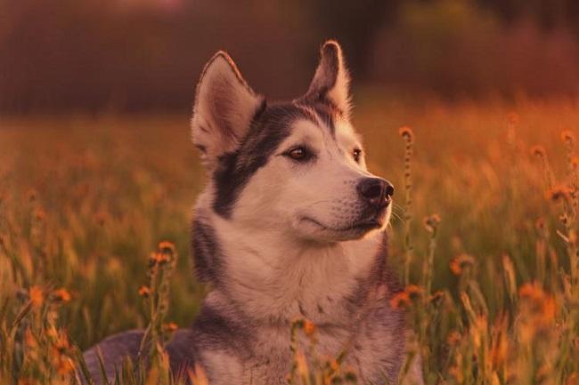 Đặc điểm ngoại hình của giống chó Husky